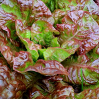 Prizehead leaf lettuce heirloom Seeds