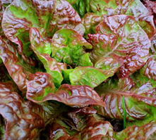 Prizehead Leaf Lettuce Heirloom Seed